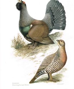 48e18a66a77d386fa29dd05d08de312b--grouse-bird-prints
